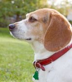 a pure breed beagle side portrait wearing a collar and empty dog tag for copy space. poster