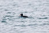 A Surf Scoter swimming through the ripples of the saltwater poster