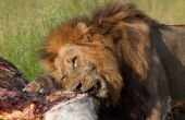 Single male lion (panthera leo) eating on giraffe carcass in savannah in South Africa poster