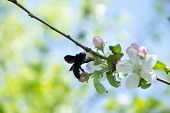 Blue carpenter bee - Xylocopa on the apple tree flower poster