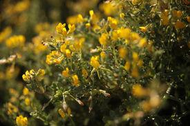 mediterranean yellow flowers