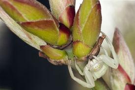 white crab spider (Thomisidae)