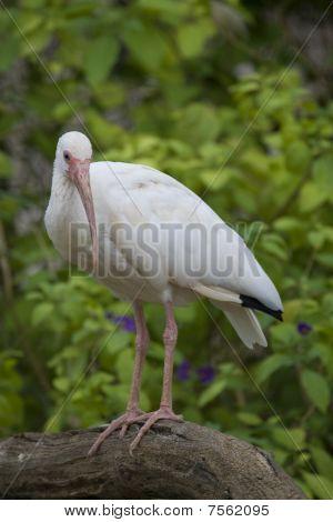 White Ibis Portrait shot in Athens Zoo poster