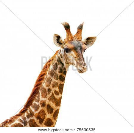 Giraffe head and neck isolated on white. Elegant and beautiful portrait of African animal