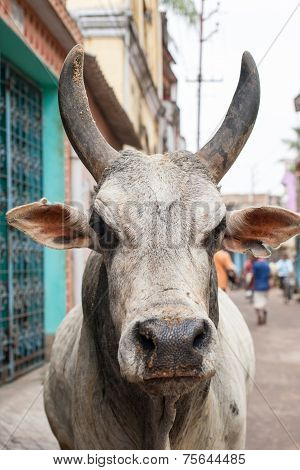 Bull on the streets