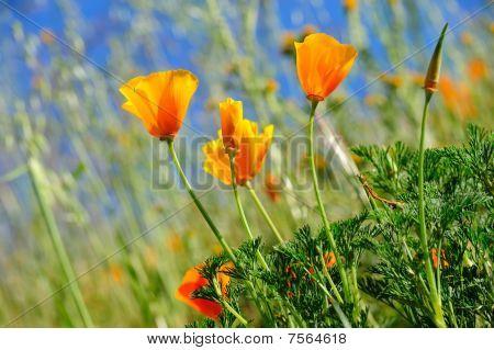 California Poppy And Wild Grasses