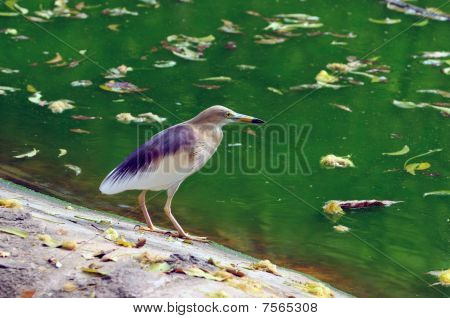A young Indian pond heron ready to catch its prey poster