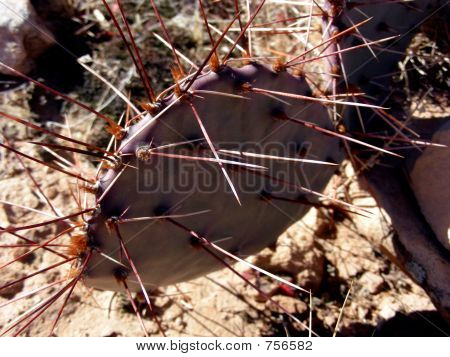 Purple Prickly Pear cactus in the desert poster