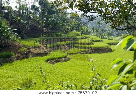 Rice Paddy Terraces