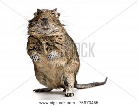 Funny Pet Degu Mouse With Yellow Teeth