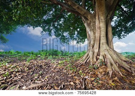 Banyan Tropical Tree