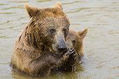 Brown Bear Mother and Her Cub Eating Grapes in the Water poster