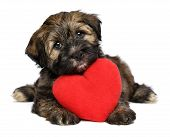 A cute lover valentine havanese puppy dog with a red heart is looking upward isolated on white background poster