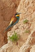 European bee-eater Merops apiaster. Shallow depth of field and bakground blurred poster
