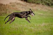 black great dane breed dog running outdoors poster