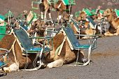 camels at Timanfaya national park wait for tourists for a guided tour poster