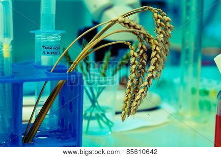 Research of GMO wheat in the laboratory
