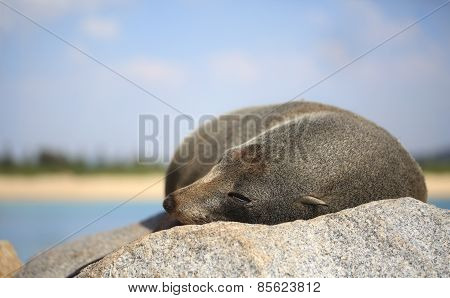 Sleepy fur seal lazing on a rock in the glorious sunshine. Fur seals are any of nine species of pinnipeds in the Otariidae family. poster