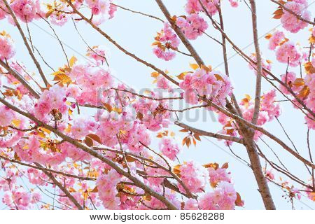 Blooming double cherry blossom and sky background