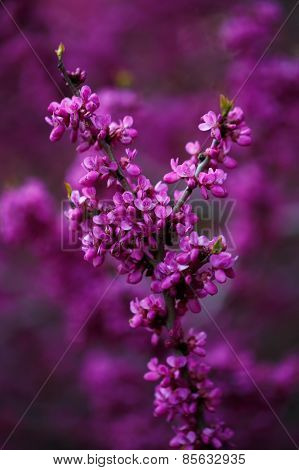 Pink Flowers Of Cercis