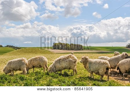 Sheeps in the British countryside