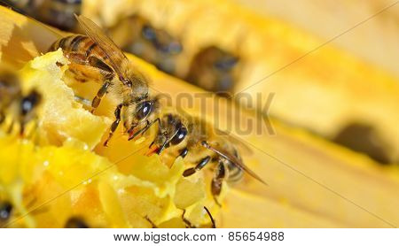 Macro shot of bees on a honeycomb