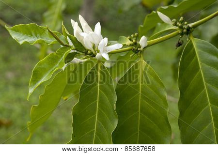 Kona Coffee with Blossoms/Flowers