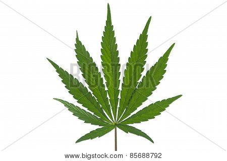 A Marijuana Leaf Isolated