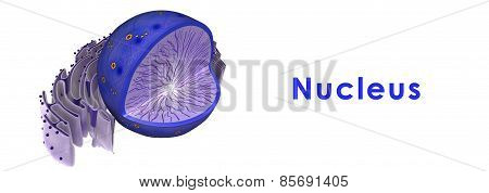 Nucleus in animal cell