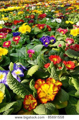 Primroses In A Floriculture Plantation