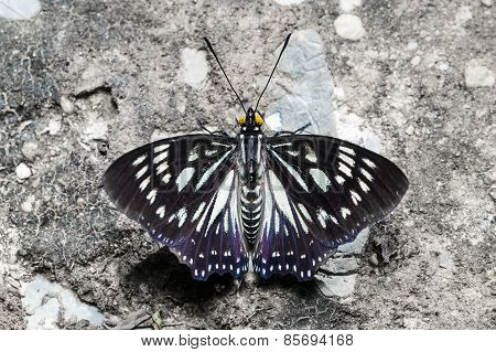 The Common Courtesan Butterfly
