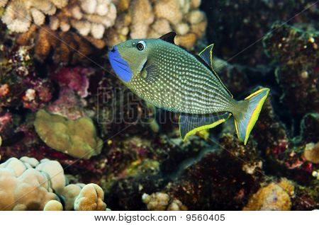 Guilded Trigger Fish