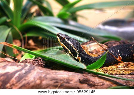 Taylor's cantil snake Agkistrodon bilineatus taylori