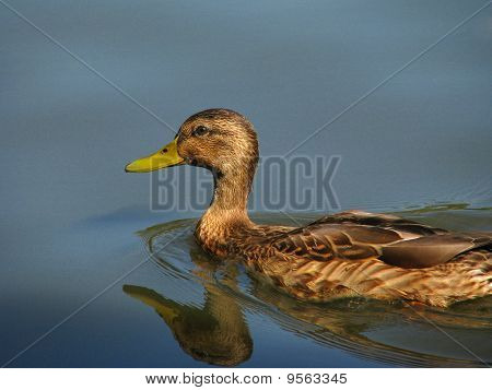 Duck on calm water