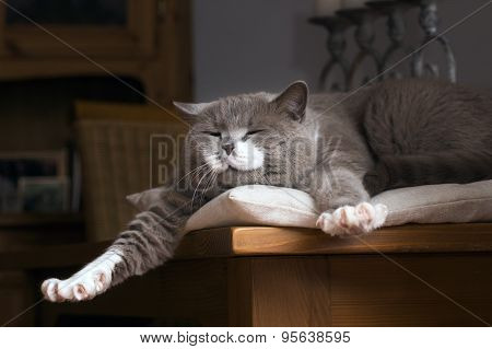 British Shorthair Cat Wakes Up On The Table