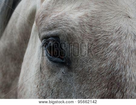 Horse tear