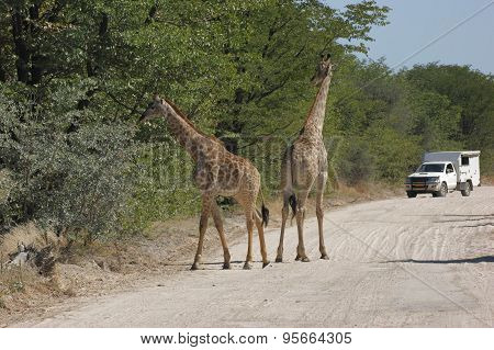 Giraffes On The Road