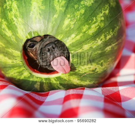 a cute baby pug chihuahua mix puppy looking out of hole cut into a watermelon and licking around the edge during summer