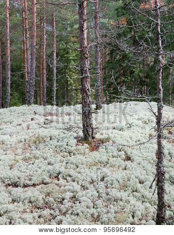 reindeer moss covering forest floor in Northern Europe poster