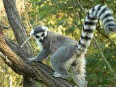 Awaken lemur with ringtail climbing a tree poster