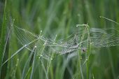 Spider  building web   on   rice leave plant in the morning. Web of spider isdanger for little insect. poster