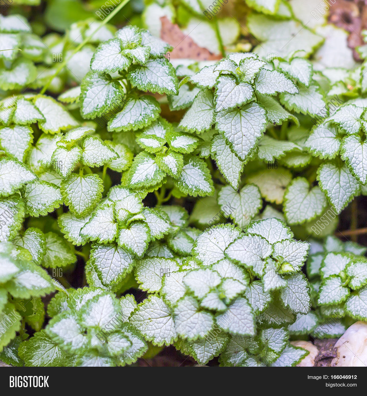 Spotted Dead Nettle Image Photo Free Trial Bigstock