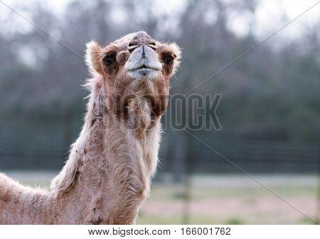 Camel Staring at Camera in Natural Setting