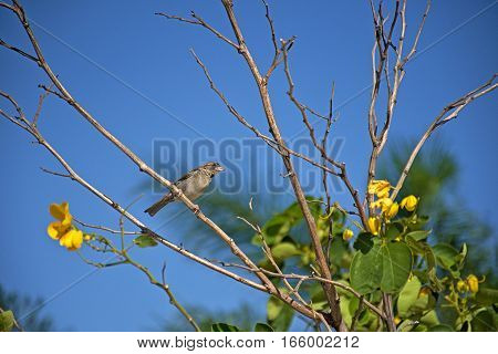 Female house sparrow (Passer domesticus) sitting on a small tree branch with yellow flowers under a blue sky