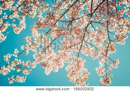 Beautiful vintage sakura tree flower (cherry blossom) in spring on blue sky background. vintage color tone style.