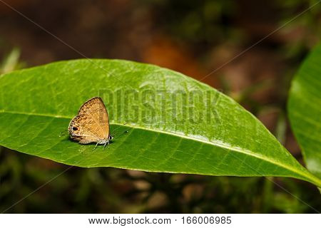 The common lineblue butterfly ( Prosotas nora Felde ) resting on green leaf