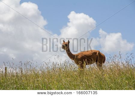 Alpaca in Grassy Field with Cloudy Blue Sky Background