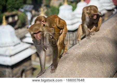 Monkeys in Pashupatinath Temple, Kathmandu, Nepal .