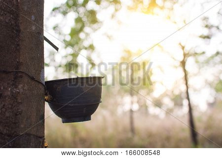 Trunk Rubber Hevea Brasiliensis Tree, Tapping Latex From A Rubber Tree.