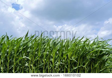 Mature and lush corn crop against a cloudy summer sky